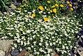 Arenaria ciliata 3.jpg