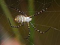 Argiope trifasciata 02 - Aranya tigre - Banded argiope (5077152665).jpg