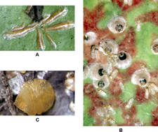 Armored scale insects.png