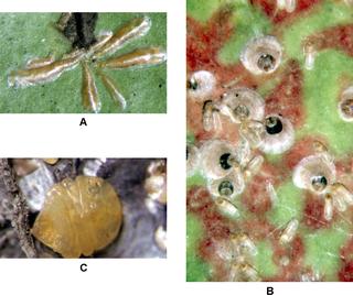 Diaspididae Family of true bugs