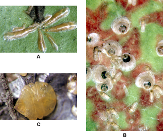 Scale insect - Armored scale insects:(A) Lepidosaphes gloverii, adult females. (B) Parlatoria oleae, adult females (circular, with dark spot) and immatures (oblong). (C) Diaspidiotus juglansregiae, adult female walnut scale with waxy scale cover removed.
