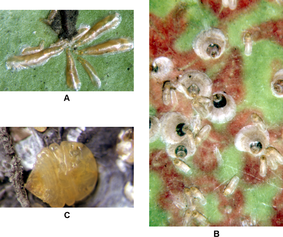 Armored scale insects