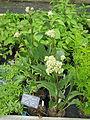 Arnoglossum plantagineum (14434336094).jpg