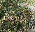 Aronia arbutifolia HabitusLeavesFruits BotGardBln0906a.jpg