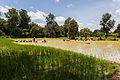 Arrozal, Angkor, Camboya, 2013-08-16, DD 07.JPG