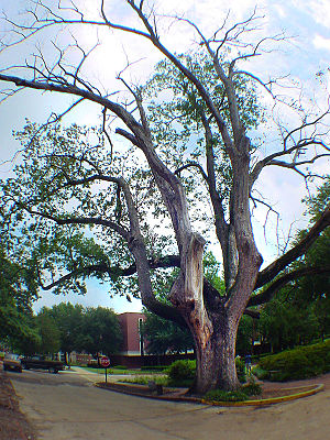 Augusta State University - The Arsenal Oak in 2004