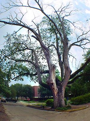 Augusta State University - The Arsenal Oak in 2004