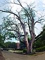 Arsenal Oak (Augusta State University).jpg