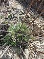 Artemisia campestris sl4.jpg