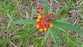 Asclepias curassavica flower (15495890214).jpg