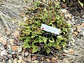 Aspidotis carlotta-halliae - University of California Botanical Garden - DSC09044.JPG