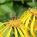 Asteraceae sp.-IMG 6105.jpg