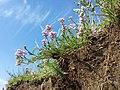 Astragalus austriacus sl25.jpg