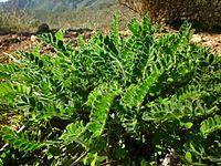 Astragalus nitidiflorus