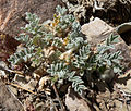 Astragalus purshii var tinctus 1.jpg
