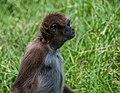 Ateles hybridus from Venezuela.jpg