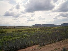 Atotonilco Jalisco (Agaves).JPG