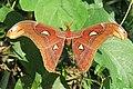 Attacus atlas - Atlas moth - at Peravoor (3).jpg