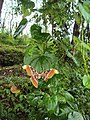 Attacus atlas with a wing gone 07.JPG