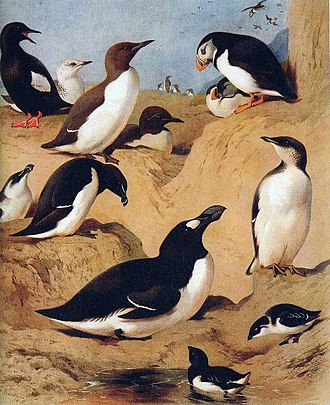 Auk - Auks as painted by Archibald Thorburn