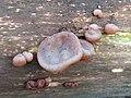Auricularia auricula-judae 110859591.jpg