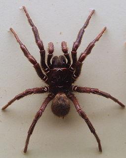 <i>Hadronyche formidabilis</i> Species of spider