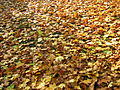 Autumn leaves in Kharkov.jpg