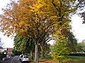 Autumn trees on Sutton Green, SUTTON, Surrey, Greater London (4).jpg
