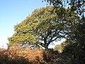 Autumnal tree in Park Lane - geograph.org.uk - 1572196.jpg