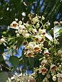 B. populneus flor-1.JPG