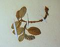 BLW Arctic Willow (Salix artica).jpg