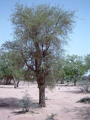 Balanites aegyptiaca - Image: Balanites aegyptiaca 0730