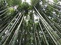 Bambù altissimi da sfiorare il cielo.JPG