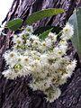Bangalay-flowers.jpg