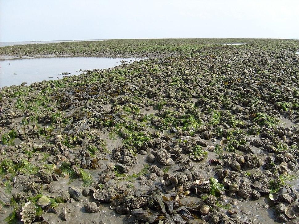 Bank met ondermeer kokkels mosselen en Japanse oesters in de Waddenzee bij Schiermonnikoog