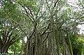 Banyan Tree (Ficus benghalensis) (46515836481).jpg