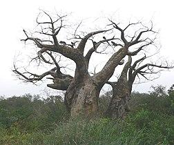 Baobab4.jpg