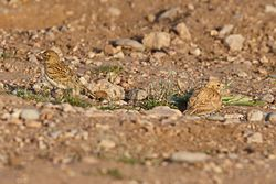 Bar-tailed Lark.jpg