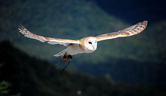 Barn owl - Barn owl in flight