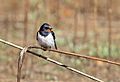 Barn swallow, Hirundo rustica, at Suikerbosrand Nature Reserve, Gauteng, South Africa (23079129830).jpg