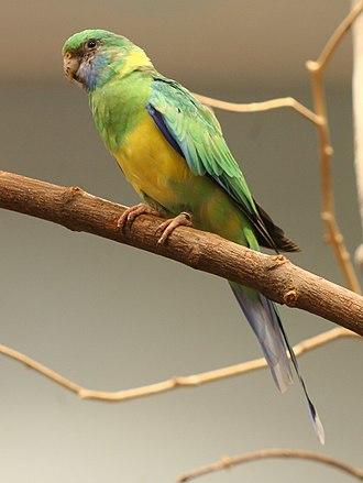 Australian ringneck - Image: Barnardius zonarius macgillivrayi Buffalo Zoo
