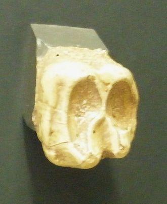 Barytherium - Barytherium molar