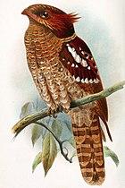 Изображение большеголовой, длиннохвостой, рыжевато-коричневой птицы с множеством белых отметин, сидящей на ветке.