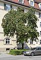 Baum, Schwanthalerhöhe-München.JPG