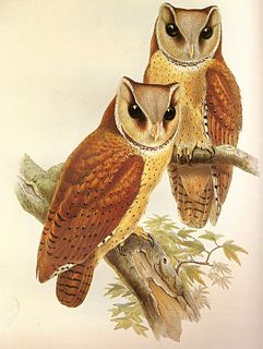 Bay owl genus of birds