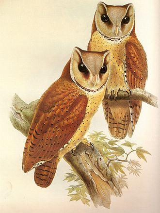 Bay owl - Oriental bay owl