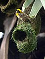 Baya Weaver Ploceus philippinus male Breeding plumage by Dr. Raju Kasambe DSC 5420 (26).jpg