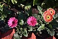 Beautiful aster flowers in our hotel garden (29335339237).jpg