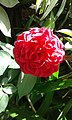 Beautiful red rose at home.jpg