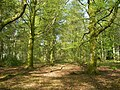 Beechwood In Spring - geograph.org.uk - 790435.jpg